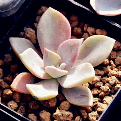 多肉植物初恋图片欣赏